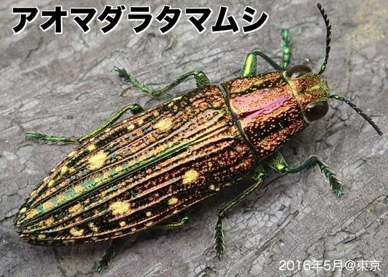 07青斑玉虫A