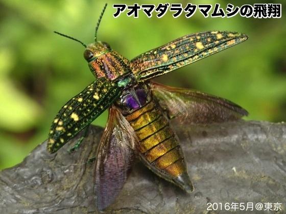 09青斑玉虫C