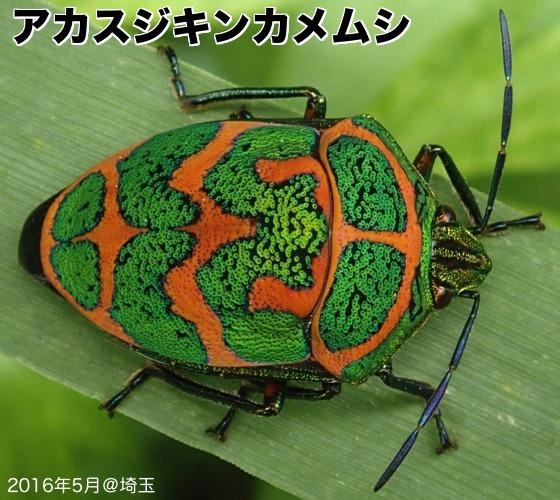 21赤筋金亀虫A
