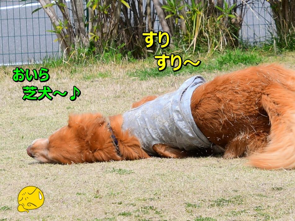 DSC_4937おいら芝犬