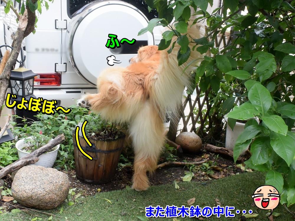 DSC_9396植木鉢にじょぼぼ