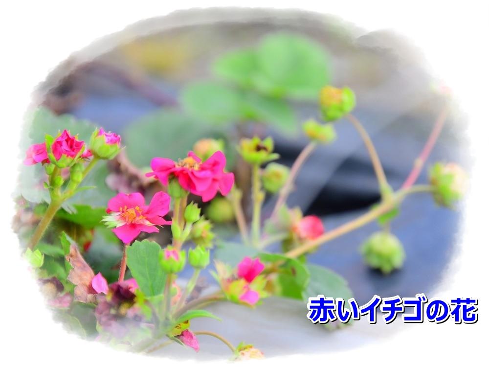 DSC_8272赤いい花のいちご
