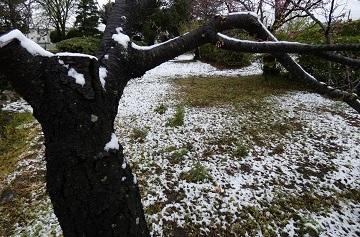 10-2八幡山古墳桜の枝に雪が