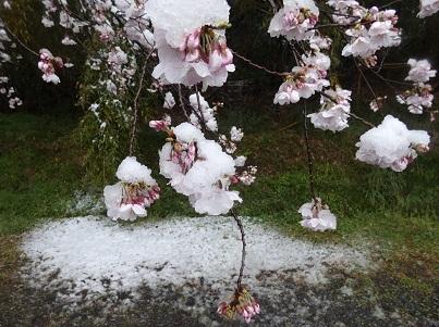 4-1吉見観音 桜に雪が