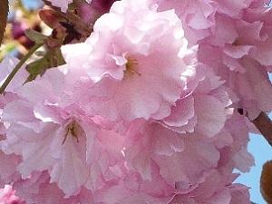 115 八重桜 -