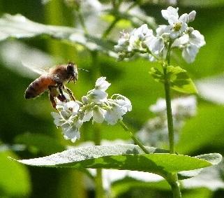 147-1 そばの花とミツバチ