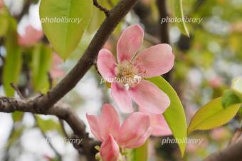 5341-340カリンの花