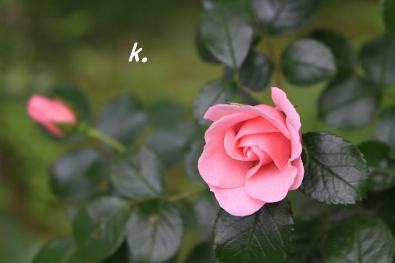 ピンクのバラ2020a