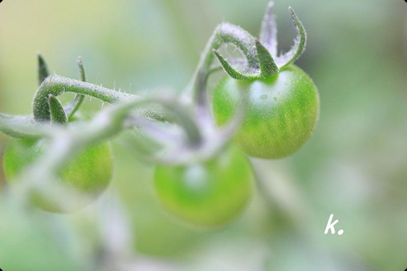 あおいミニトマト