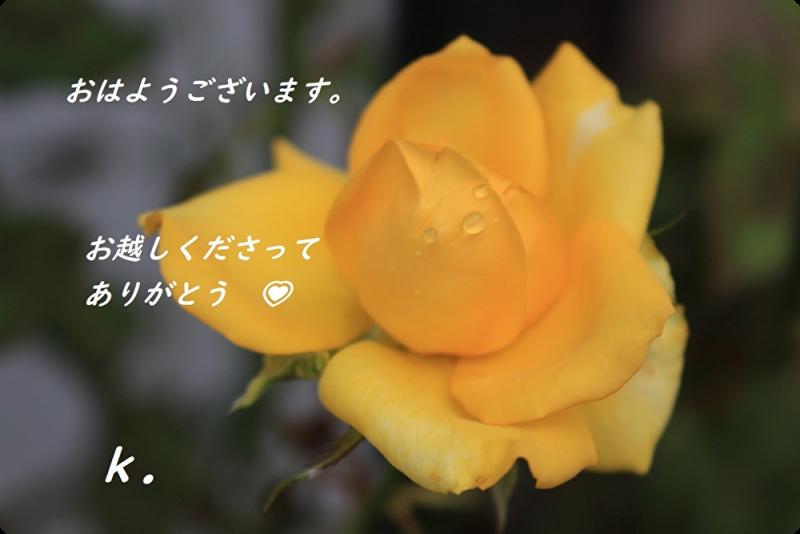 グリーティング黄バラ