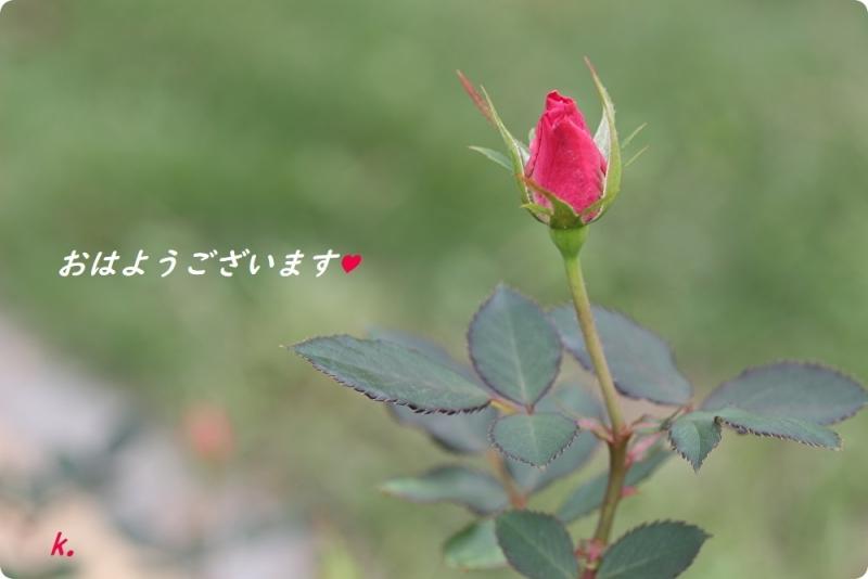 グリーティング 薔薇のつぼみ