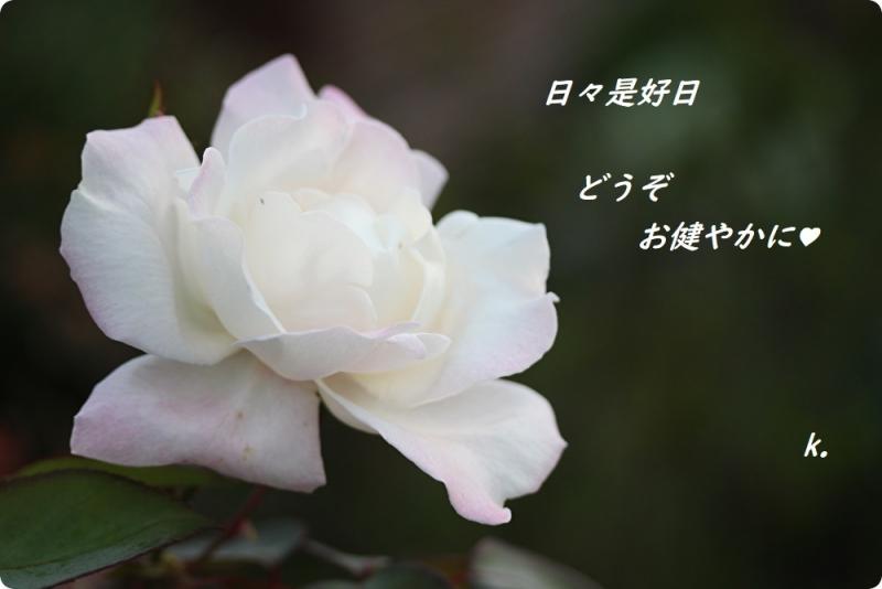 グリーティング香りの良い薔薇