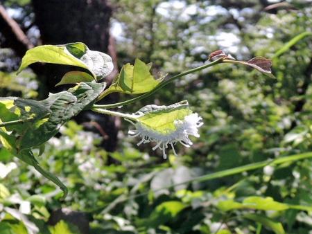 アゲハモドキ幼虫