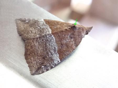 ナカジロアツバ