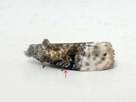 グミオオウスツマヒメハマキ