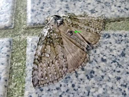 ギンモントガリバ