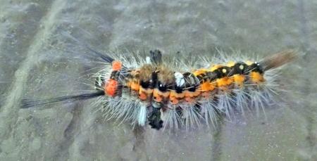ヒメシロモンドクガ幼虫