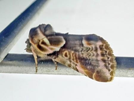 ヒメウスベニトガリバ