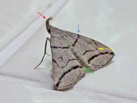 ツマオビアツバ