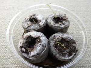ミニトマトの芽1