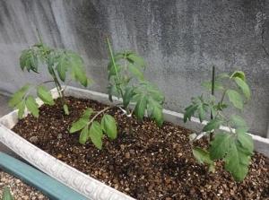 ミニトマト植え付け黄色
