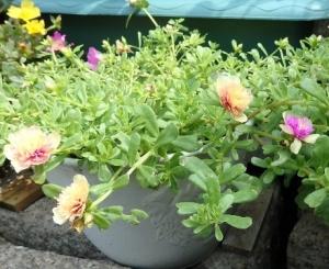 変わり咲きのポーチュラカ