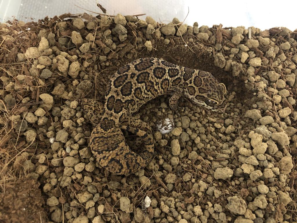 geckoella_jeyporensis_20200003.jpg