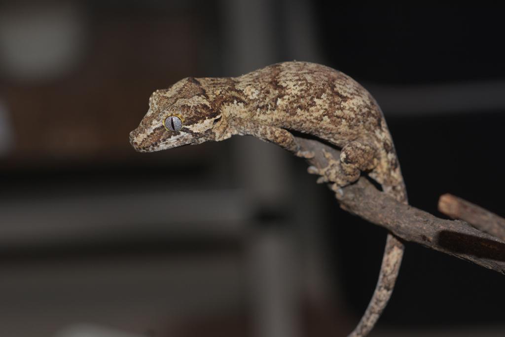 rhacodactylus_auriculatus_20200001.jpg