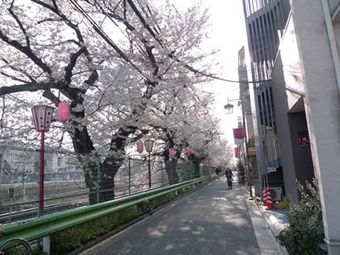 sakuranamiki3.jpg
