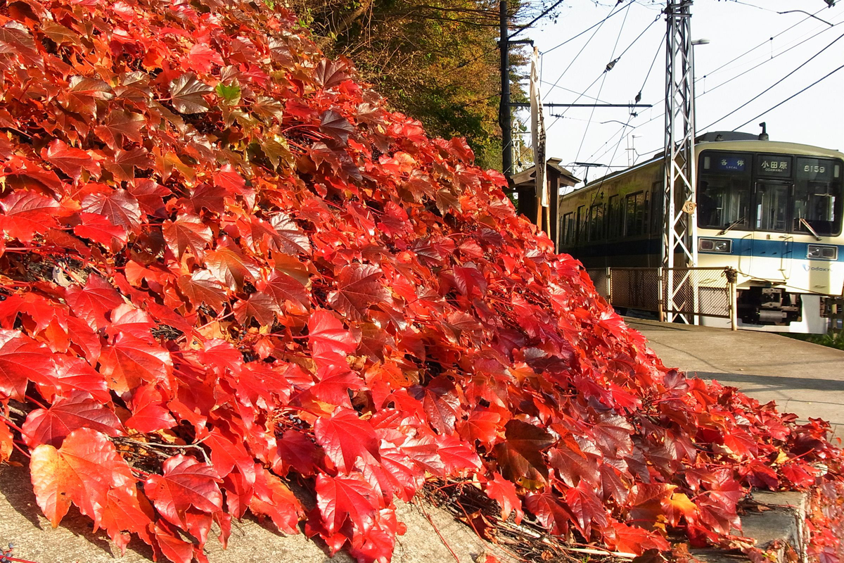 線路沿いの紅葉した蔦