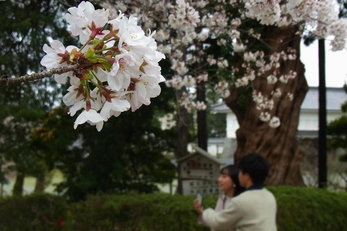 小田原スナップ城址公園の桜