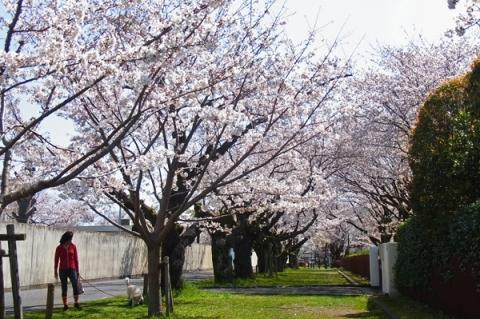 印刷局小田原工場前の桜並木