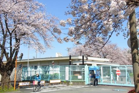 印刷局小田原工場の桜