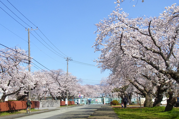印刷局小田原工場前の桜
