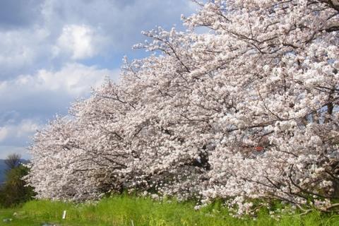 富士見の桜土手の桜並木