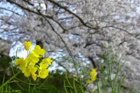 富士見の桜土手に咲く菜の花