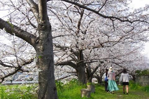富士見の桜土手を散策する人