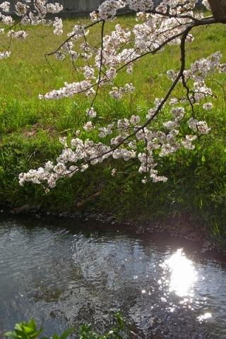 富士見の桜土手を流れる春の小川