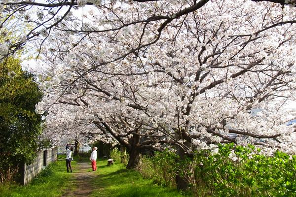 富士見の桜土手で桜を撮影する人