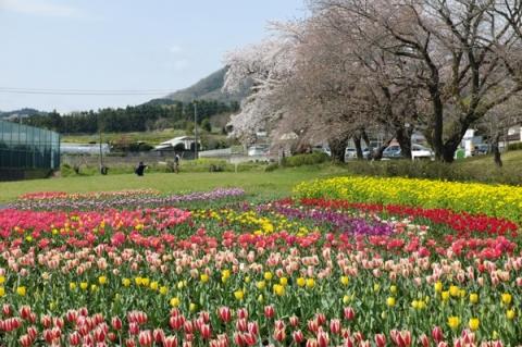 秦野戸川公園のチューリップ畑