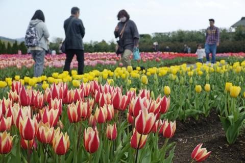 秦野戸川公園チューリップ畑と散策する人