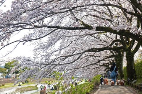水無川桜並木を散歩する犬たち