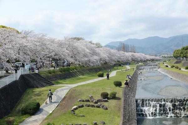 秦野水無川沿いの桜