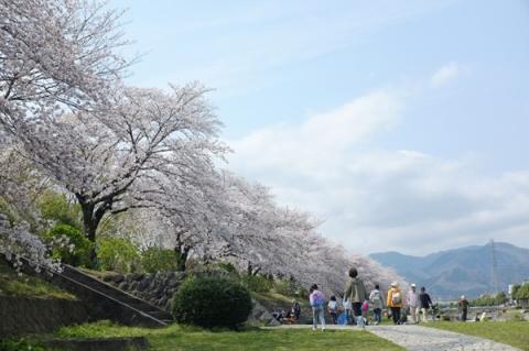 水無川河原から見上げる桜並木