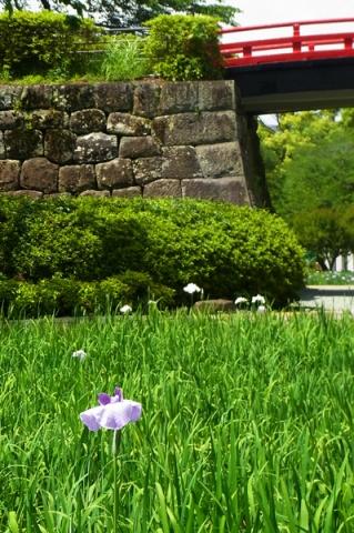 咲き始めた小田原城址公園の花菖蒲