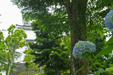 小田原城と紫陽花
