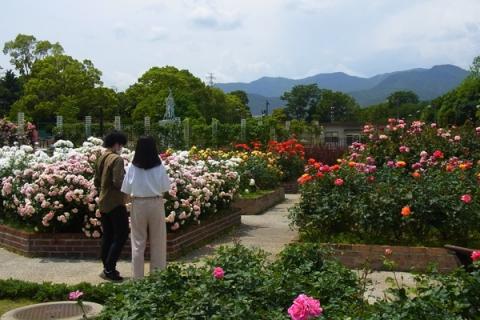 秦野スナップ カルチャーパークのバラ