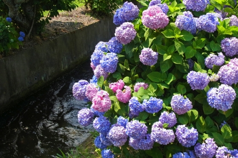 開成町あじさいの里の紫陽花