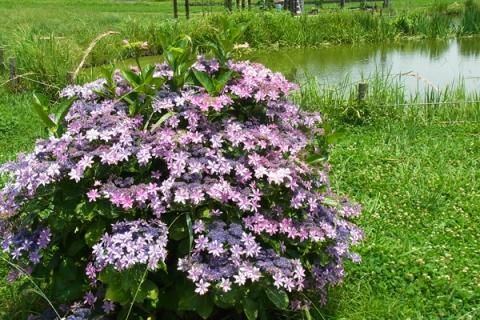 ひょうたん池と紫陽花