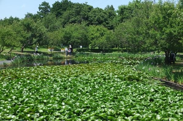 睡蓮の葉に覆われたハナショウブ池